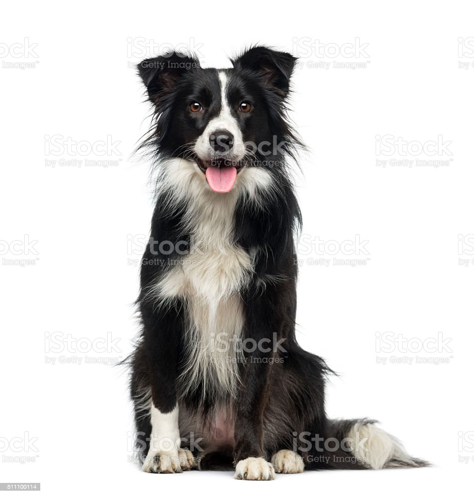 Border Collie (2 years old ) stock photo