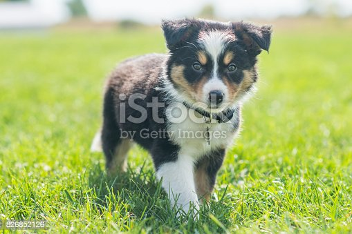 A purebred border collie puppy is outdoors in the summer exploring his new home. The dog is happy as he stands in the fresh green grass looking into the camera.