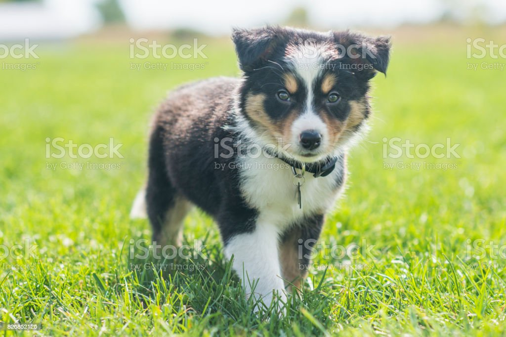 Border Collie - foto de stock