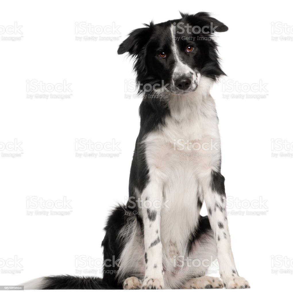 Border Collie (8 months old) stock photo