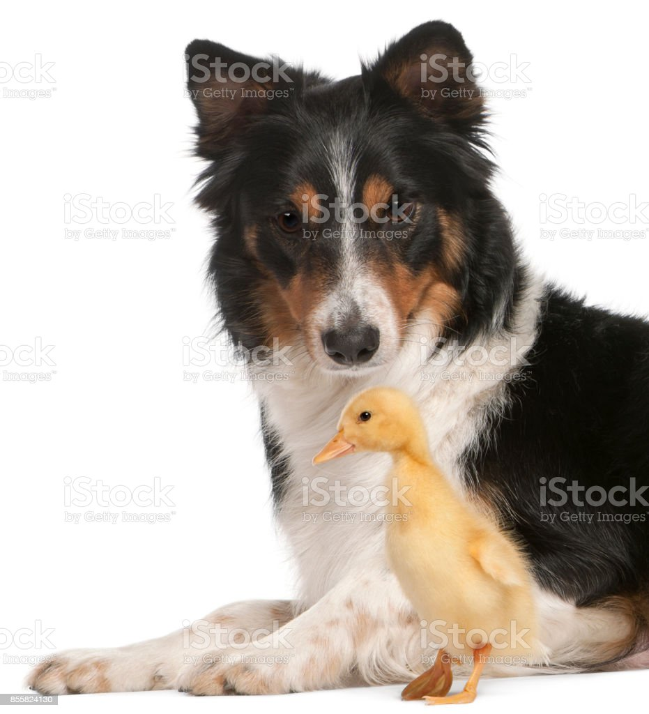 Border Collie playing with duckling, 1 week old, in front of white background stock photo