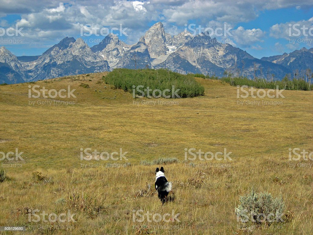 Border collie plays fetch in the Tetons stock photo