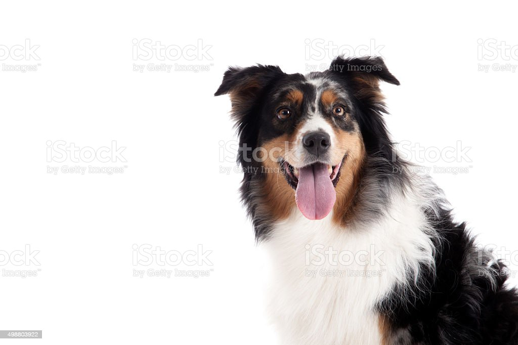 border collie portrait stock photo