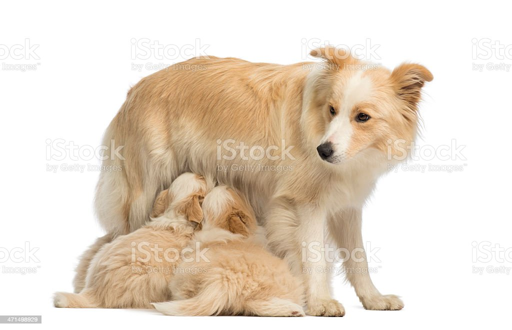 Border Collie puppies, 6 weeks old, suckling mother stock photo