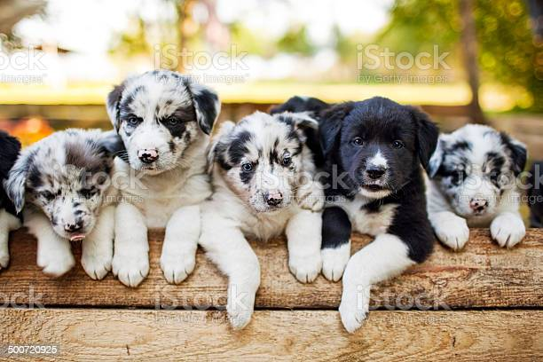 Border collie puppies picture id500720925?b=1&k=6&m=500720925&s=612x612&h=aevngqe700myxvszstvkvnoxvmf1axwef1ffmqilwle=