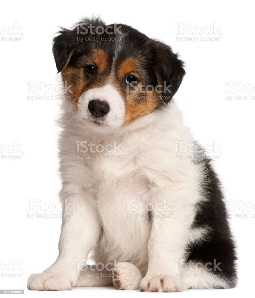 Border Collie puppy, 6 weeks old, sitting stock photo