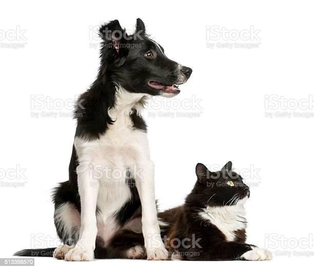 Border collie puppy and a cat picture id513368570?b=1&k=6&m=513368570&s=612x612&h=ftuewiqxkmd8cb0rfujqshhcdsk4b5ycerteqdegaos=