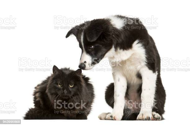 Border collie puppy and black cat sitting together against white picture id943995868?b=1&k=6&m=943995868&s=612x612&h=huqvtvnwhohjn7zdrbsfceea7tpow4 ftmze51r qoi=