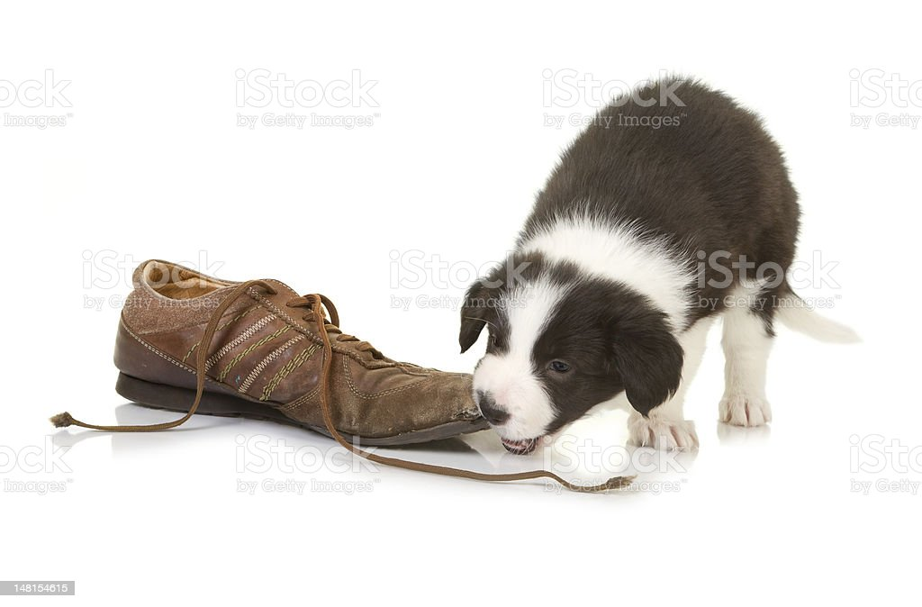 Border collie puppy chewing on a shoe royalty-free stock photo