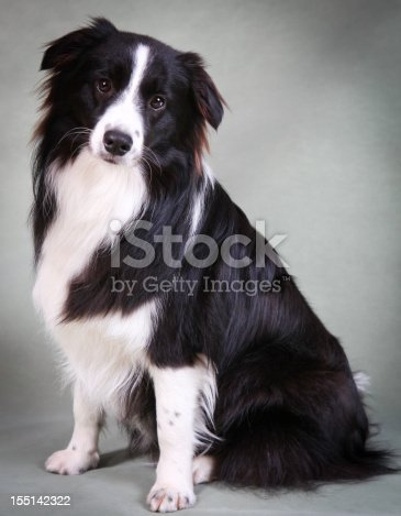 Border collie puppy dog on sage coloured background in the studio. Shallow depth of field. Focus on shoulder and chest.