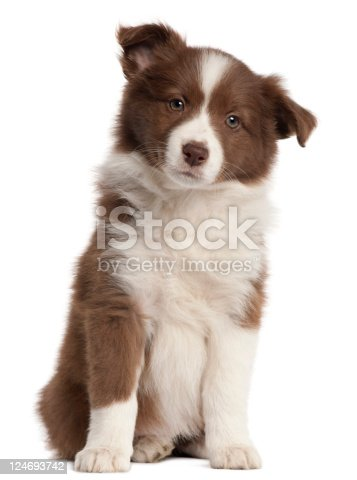 Border Collie puppy, eight weeks old, sitting in front of white background.