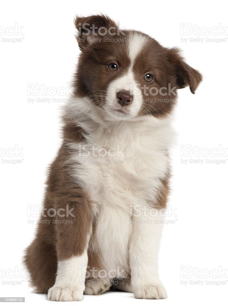 Border Collie puppy, eight weeks old, sitting, white background. stock photo