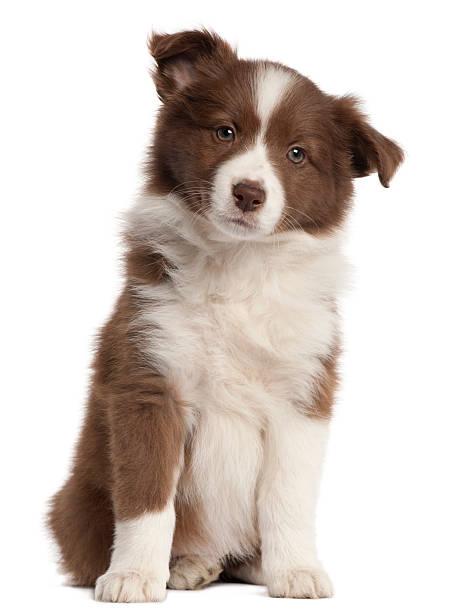 Border Collie cachorro, ocho semanas de edad, sentado, fondo blanco. - foto de stock