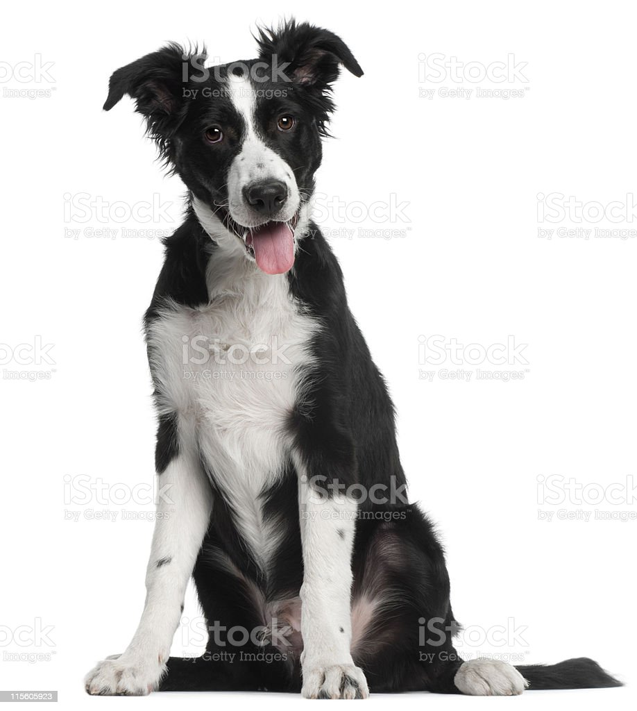 Border Collie puppy, five months old, sitting, white background. royalty-free stock photo