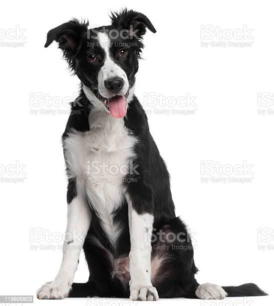 Border collie puppy five months old sitting white background picture id115605923?b=1&k=6&m=115605923&s=612x612&h=pv7iqklzibrybq4jr2dyxjtizm6xjt7wyholdajkbqo=