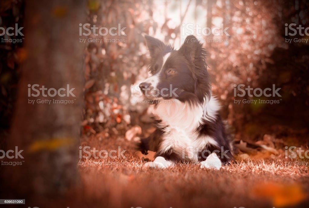 Border collie puppy in autumn garden – Foto