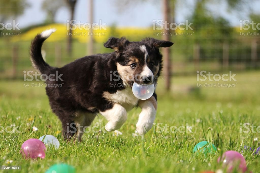 border collie welpe im garten stock photo