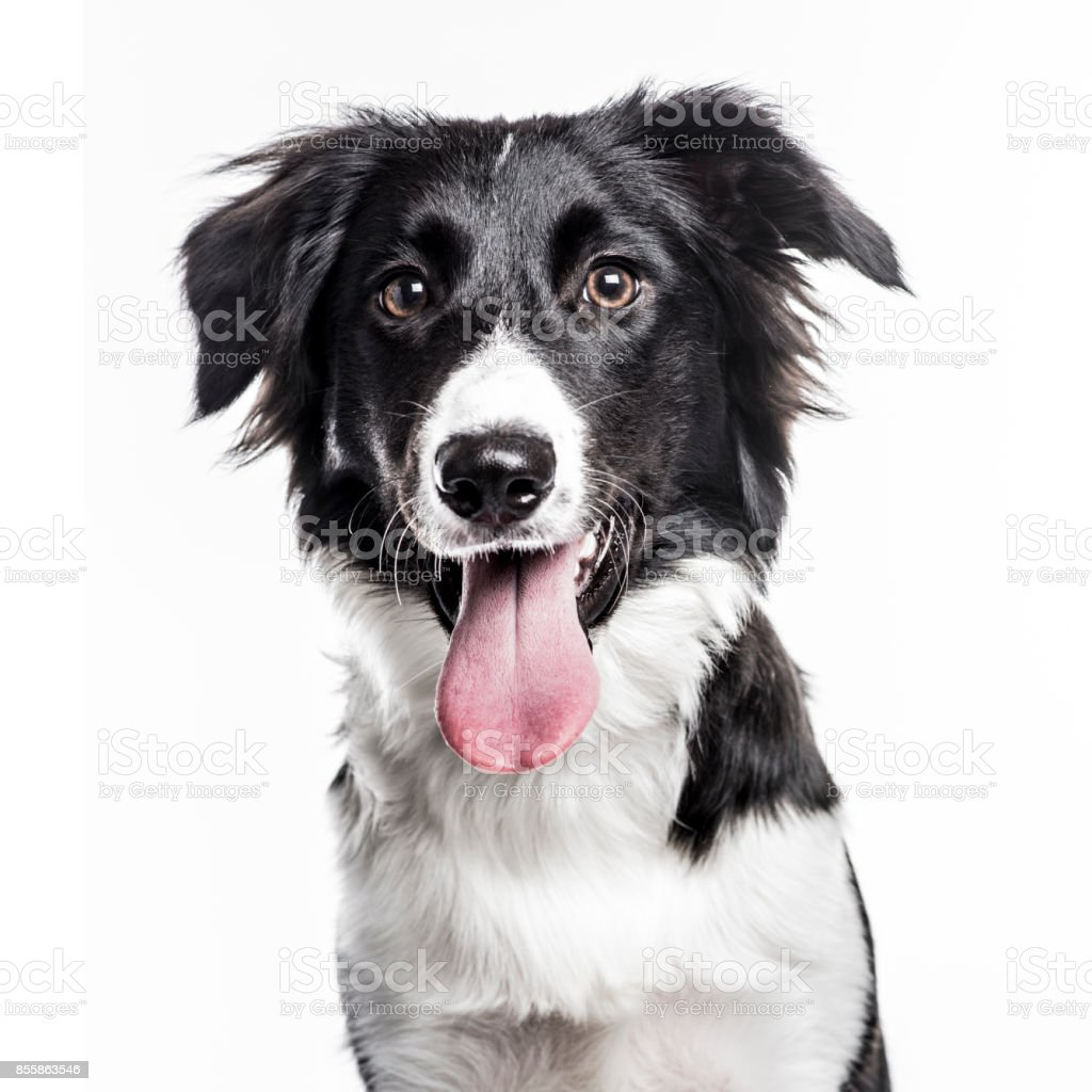 Border Collie puppy isolated on white стоковое фото