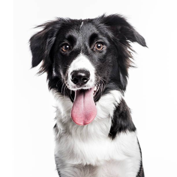 Border Collie puppy isolated on white Close-up of a Border Collie puppy sticking the tongue out, isolated on white sticking out tongue stock pictures, royalty-free photos & images