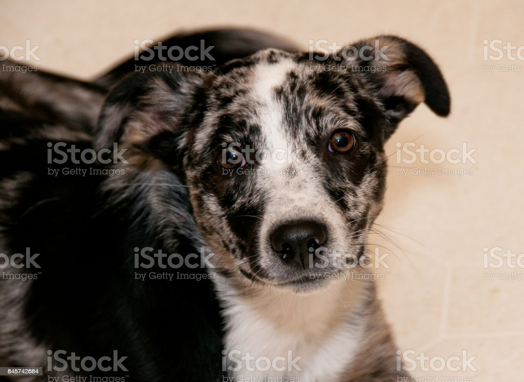 Border collie puppy looks at camera inquisitively. stock photo