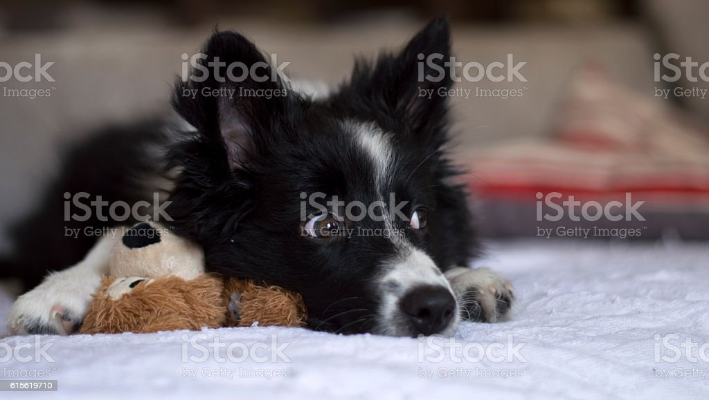Border collie puppy on the couch with her toy - foto de stock