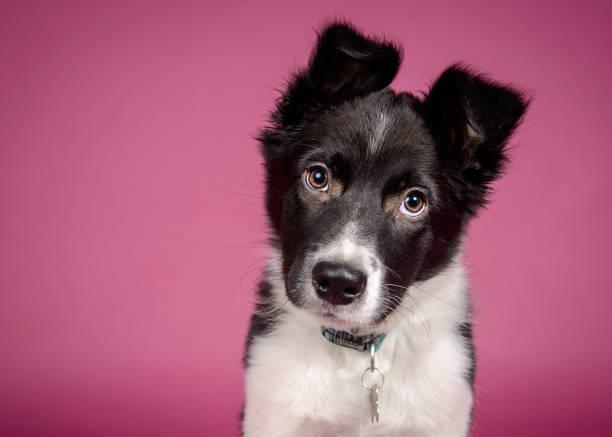 Border collie puppy picture id1031307022?b=1&k=6&m=1031307022&s=612x612&w=0&h=re8ksdd3lkusqryensoyvwphipc8logvlfecvc0fgpq=