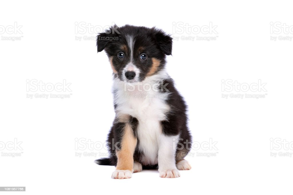 Border Collie Puppy Stock Photo Download Image Now Istock
