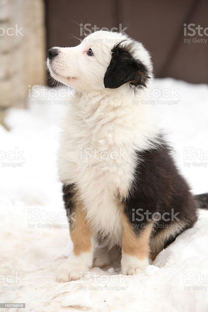 Border collie cachorro - foto de stock