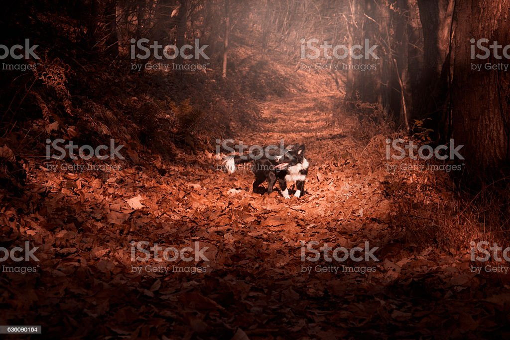 Border Collie puppy playing in the autumn leaves – Foto