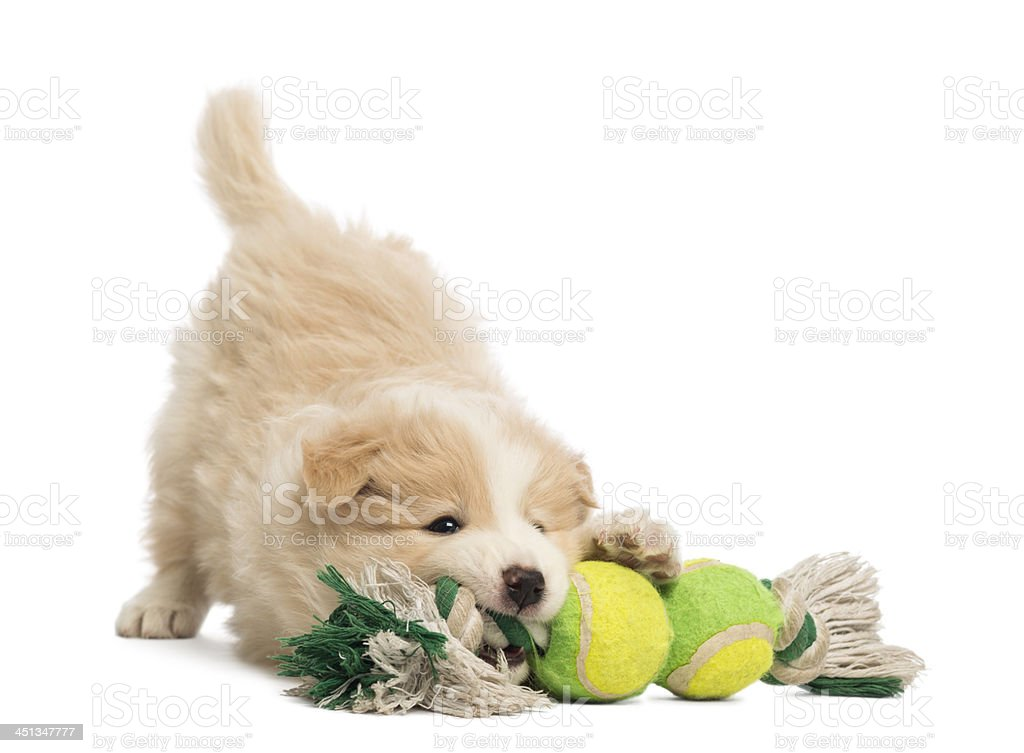 Border Collie puppy, playing with a dog toy stock photo
