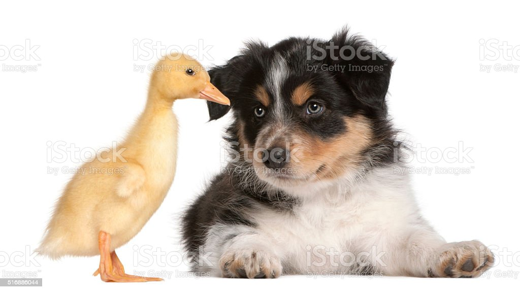 Border Collie puppy playing with a duckling, 1 week old, stock photo