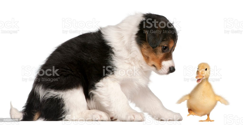 Border Collie puppy playing with a duckling stock photo