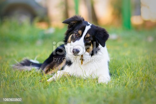 Portrait of a seven-month-old Border Collie puppy lying on the grass while playing with a stick
