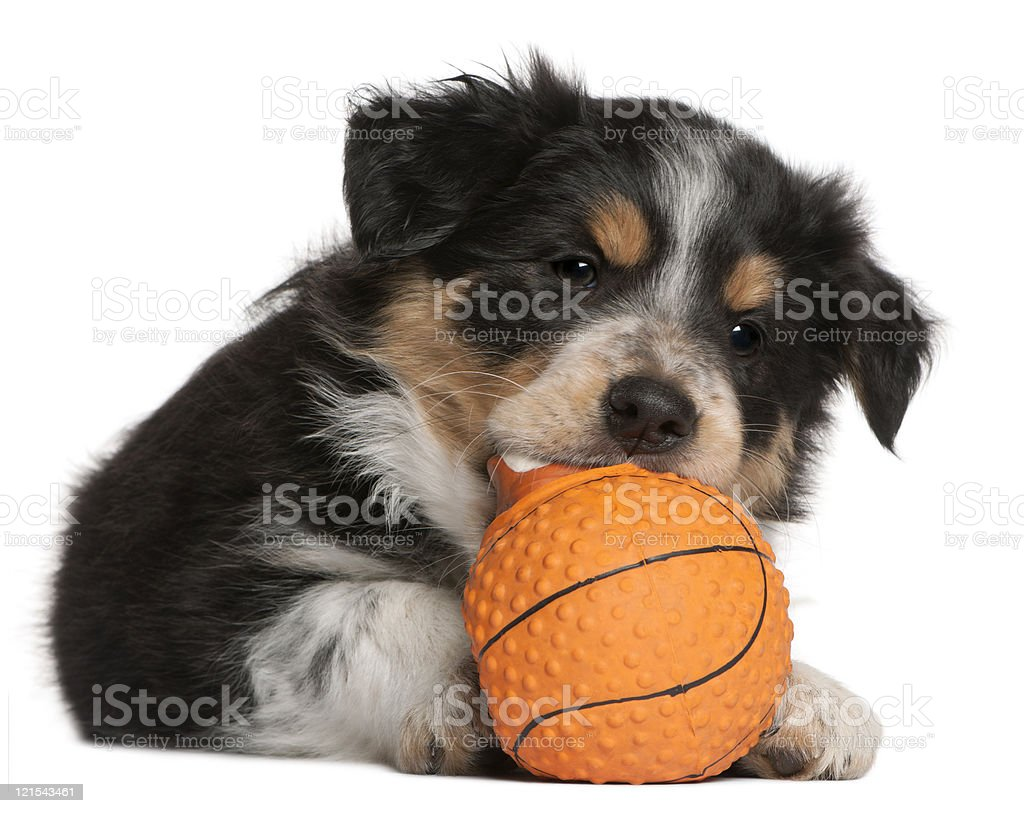 Border Collie puppy playing with toy basketball, white background. stock photo