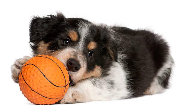 Border collie puppy playing with toy basketball white background picture id122168424?b=1&k=6&m=122168424&s=612x612&w=0&h= jbm e sm1jlrmoet2s7mdtkjaylod5tsfj jl5vdii=