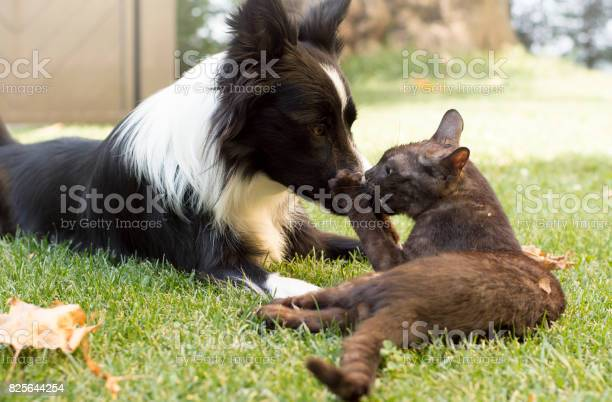 Border collie puppy plays happy with a cat picture id825644254?b=1&k=6&m=825644254&s=612x612&h=c9fk6tcgmucd8ffzvkftvh5hcguokavh11idn3hae2o=