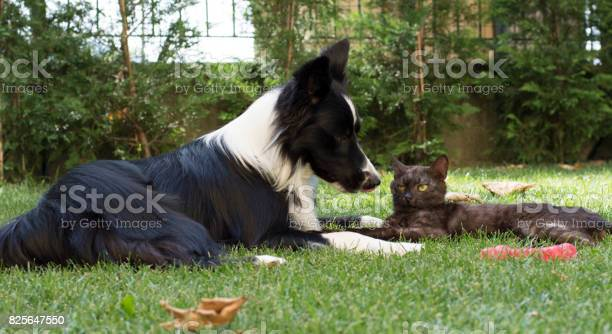 Border collie puppy plays happy with a cat picture id825647550?b=1&k=6&m=825647550&s=612x612&h=yqcymvbsauu ydqnlihsg vcgwjouhj9uxwt23 e1bk=