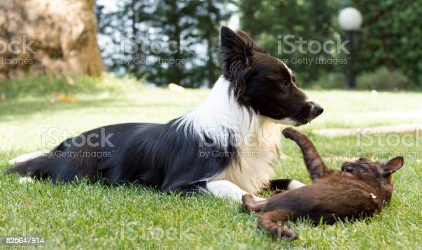 Border collie puppy plays happy with a cat picture id825647914?b=1&k=6&m=825647914&s=612x612&h=rzwyedhrzkpytxrhnmjfg jp2odzoe7t11yislxz8le=
