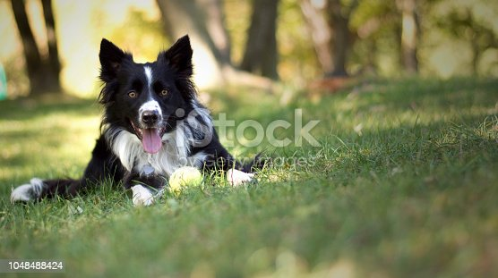 A lovely border collie puppy plays with the ball in the woods