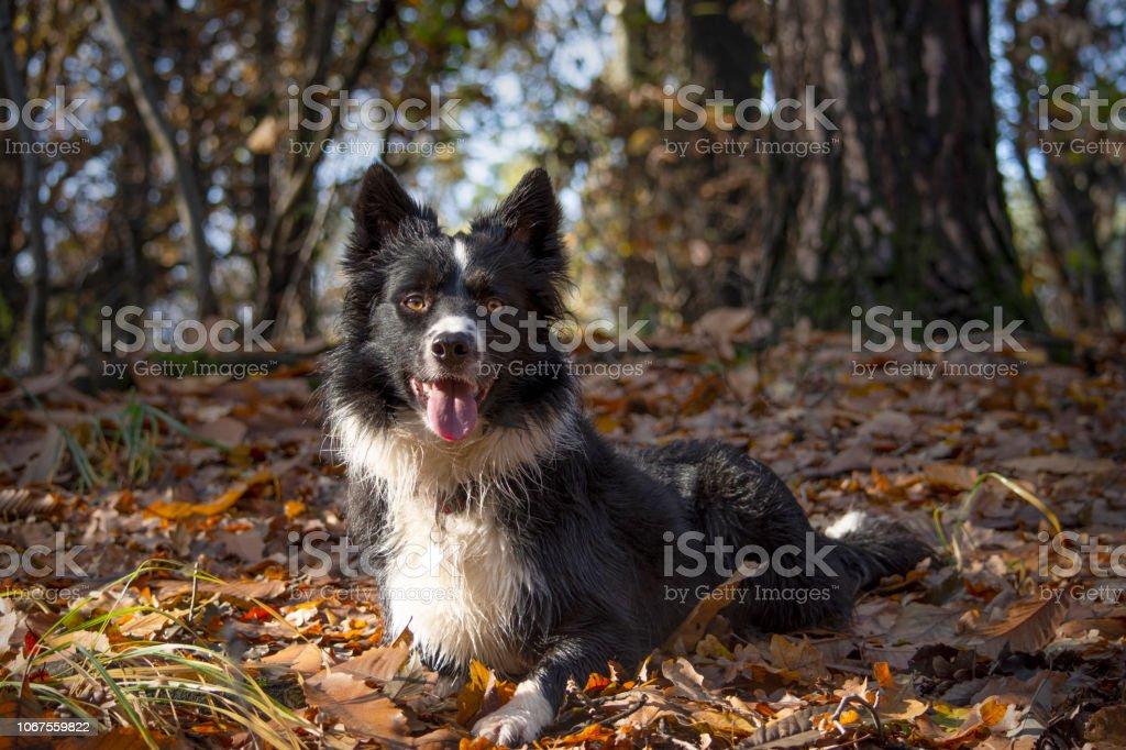 Border Collie Welpen entspannt unter das Herbstlaub im Wald an einem schönen sonnigen Tag. – Foto