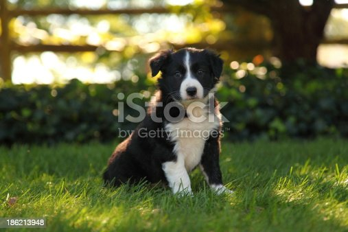 A handsome Border Collie puppy sits alert in a beautiful lawn in front of a fence.