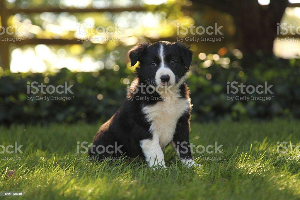 Border Collie cachorro sentado en el césped - foto de stock