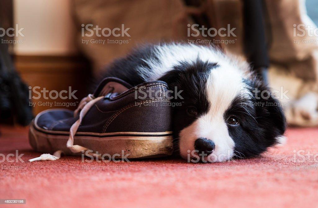 Border Collie cachorro con un calzado - foto de stock