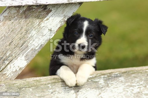 A beautiful black and white Border Collie puppy rests his paws on a rustic wooden fence with peeling white paint.