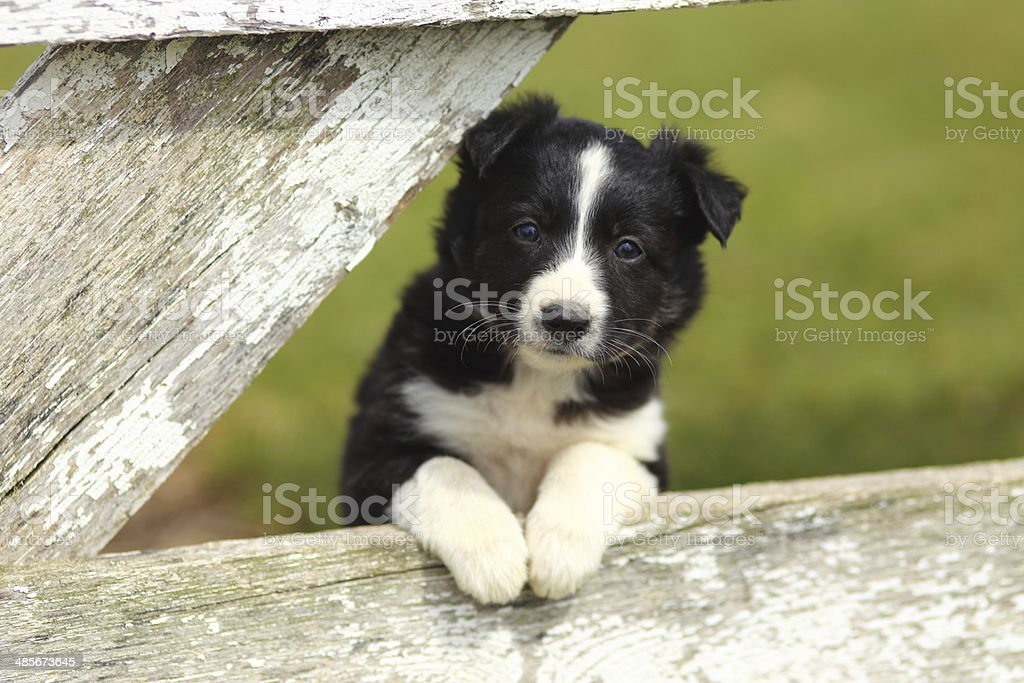 Border Collie cachorro con Paws en blanco rústico valla III - foto de stock