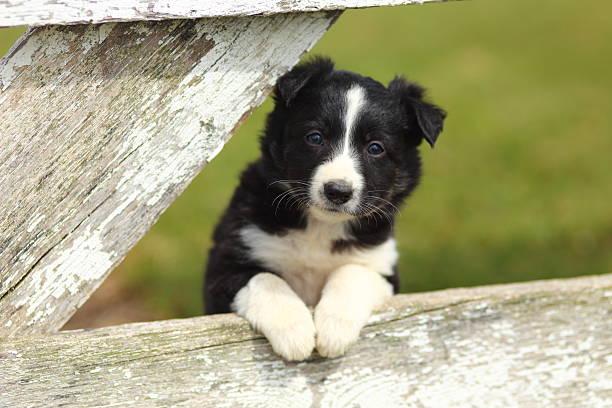 Border Collie cachorro con Paws en blanco rústico valla III - foto de stock