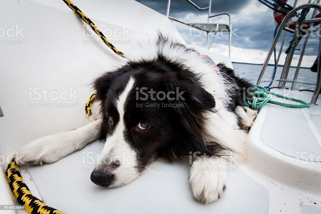Border collie resting on a deck of a yacht stock photo