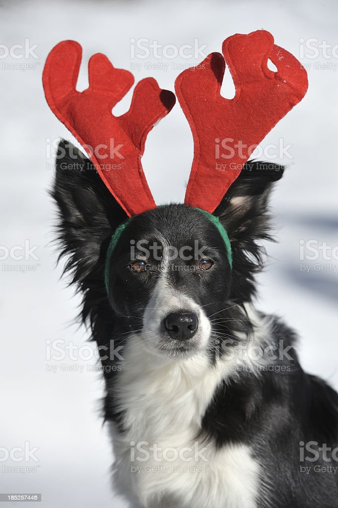 Border Collie Rudy royalty-free stock photo