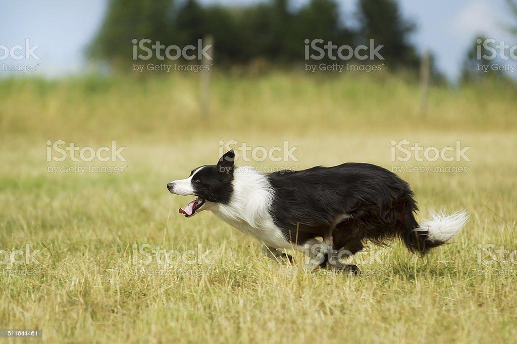 Border collie corriendo en hierba - foto de stock
