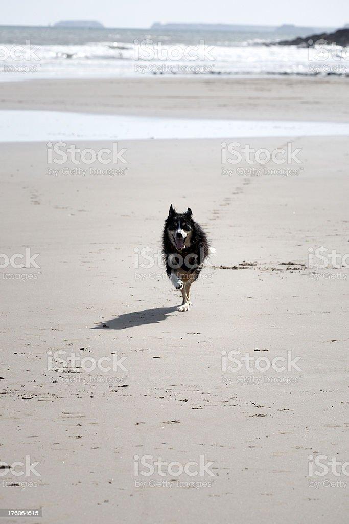 Border collie running on the beach stock photo